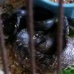 Snake eats birds in woman's home