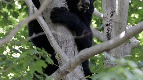A black bear seeks refuge in a tree on Purchase Street in Harrison.