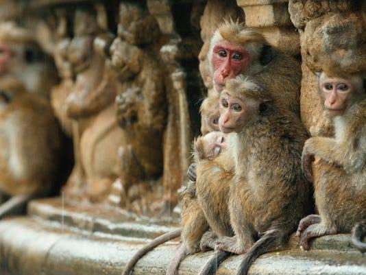 "Movie review: ""Monkey Kingdom"" reveals a revolution in cuteness"