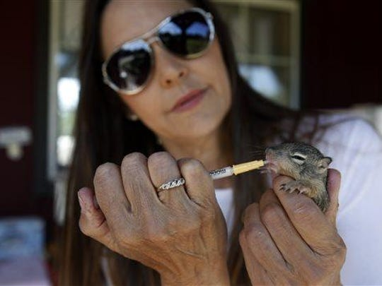 In an April 3 photo, Julia Di Sieno, the executive director and co-founder of the wildlife rehabilitation center, 'Animal Rescue Team,' in Solvang, Calif., feeds a baby squirrel that was brought to her center after someone in the area found it. Di Sieno's team rescued a female coyote in February that was blinded by a bullet and near death when it was discovered. A month later she gave birth to a litter of five healthy puppies.