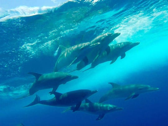 Mike Ross submitted photos of dolphins swimming about 35 miles off of Marco Island on Saturday, July 30, 2016.