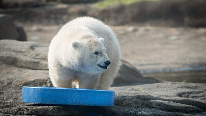 Nora, a polar bear born last year at the Columbus Zoo, will be moving to the Oregon Zoo this fall.