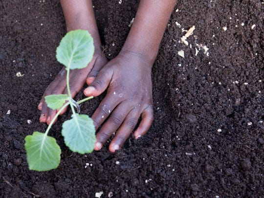 A child's hands planting a vegetable in the soil.