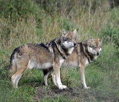Voluntary participation from Wisconsin's trappers is an important part of the department's work with many stakeholders and partners to monitor the state's wolf population.