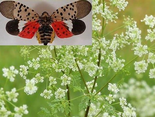 cpo-edit-hemlock-spotted-lanternfly.JPG