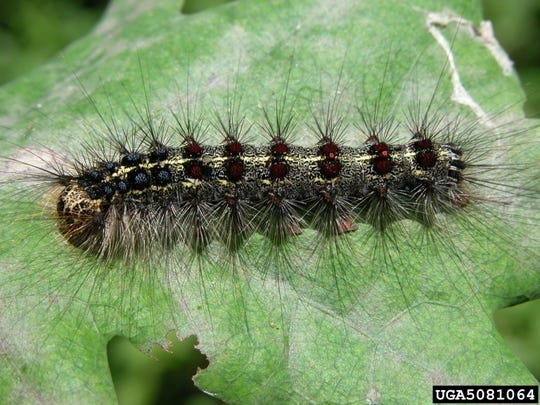During their feeding stage as caterpillars, gypsy moths can defoliate great expanses of forest.
