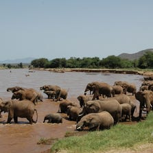 A three-year study led by Colorado State University has provided the first verifiable estimate of the impact of the illegal ivory trade on African elephants – more than 30,000 animals are killed each year by poachers.
