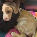 Abandoned puppy found with only three legs