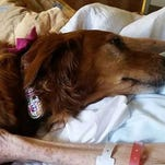 JJ, a hospice therapy dog, comforts a patient.