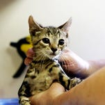 A kitten is bathed at the Fort Collins Cat Rescue & Spay/Neuter Clinic in this June 20 file photo.