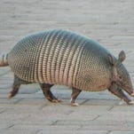 Ask Clay: Armadillos may be moving north (if they can avoid cars)