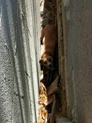 A dog wedged itself between two walls to escape the