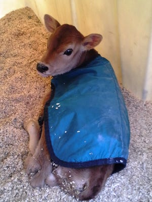 A Jersey calf wears a calf blanket in an effort to increase body temperature in a properly ventilated calf hutch..
