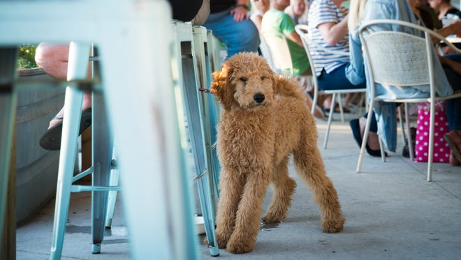 Avicii, a four-month-old Goldendoodle owned by Steven and Alexis Needham of Ferndale hangs out at Detroit Fleat in Ferndale, Mich. on Thursday, July 19, 2018.