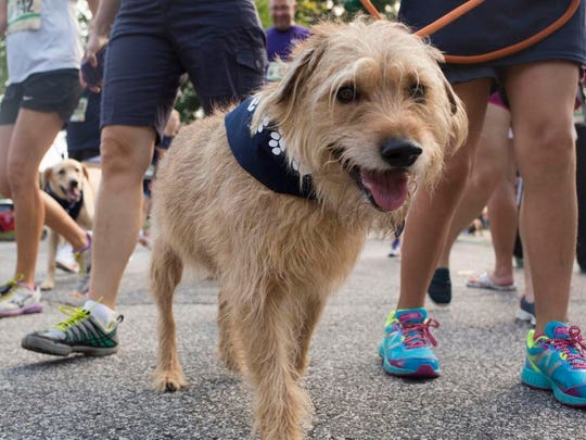 Locals walk their dogs during the Mutt Strut event, a fundraiser for the Greenville Humane Society, at Greenville Technical College's Barton Campus along the Swamp Rabbit Trail on Saturday, August 22, 2015 in Greenville.