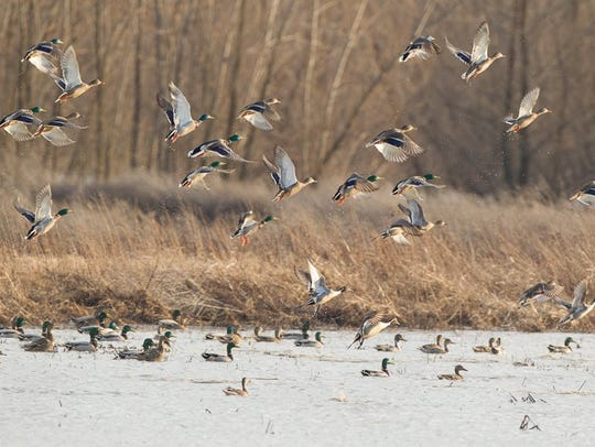 A sight duck hunters would like to see now that the