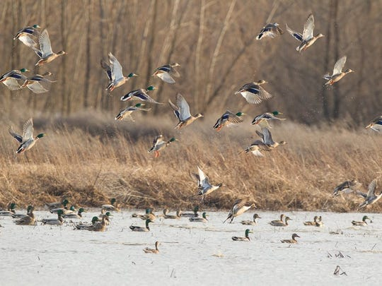 A sight duck hunters would like to see now that the duck season is open statewide.