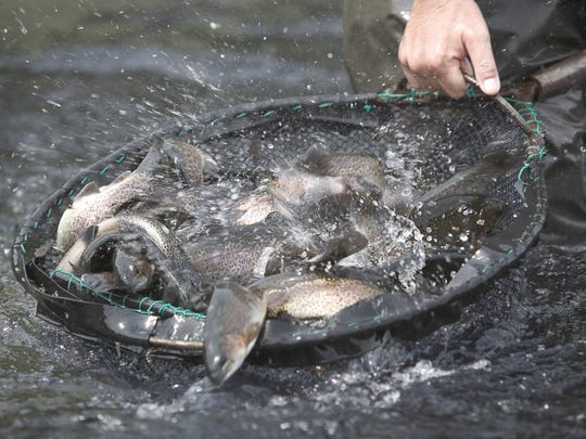 A net full of trout at Bennett Spring hatchery.