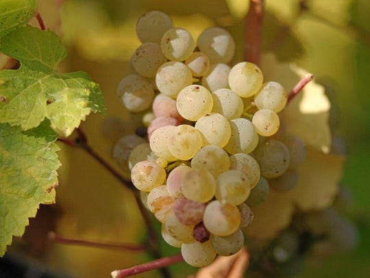 Riesling wine  is made from a white grape variety,