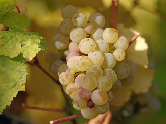 Riesling wine  is made from a white grape variety, which originated in the Rhine region of Germany.