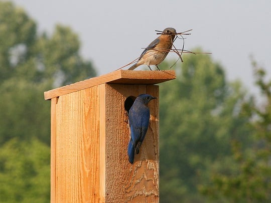 Bluebird parents at their nest box.