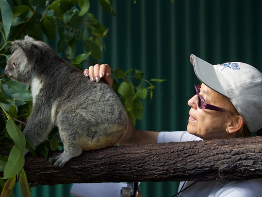 Koalas feel exactly as you think, soft and furry but with a slight oiliness from the gum tree leaves they eat.