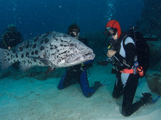 Yvonne in orange hood is checked out by a giant potato cod at Cod Hole, a famous dive site at Australia's Great Barrier Reef.
