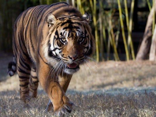 Sumatran-tiger-Kavi-Zoo-Atlanta.jpg