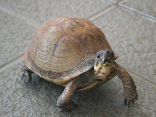 636240554311415479-Turtle-in-classroom.jpg