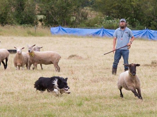 Ian Caldicott and border collie JoeKidd keep the sheep