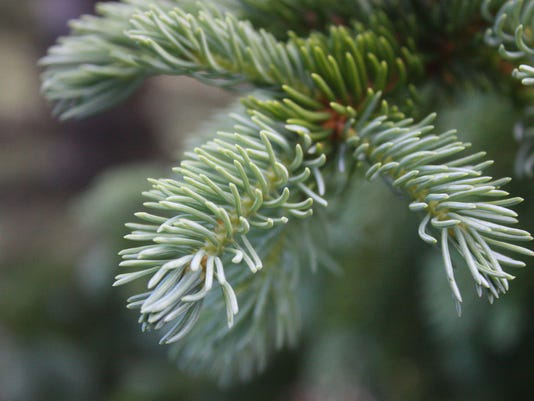 spruce-tree-branch