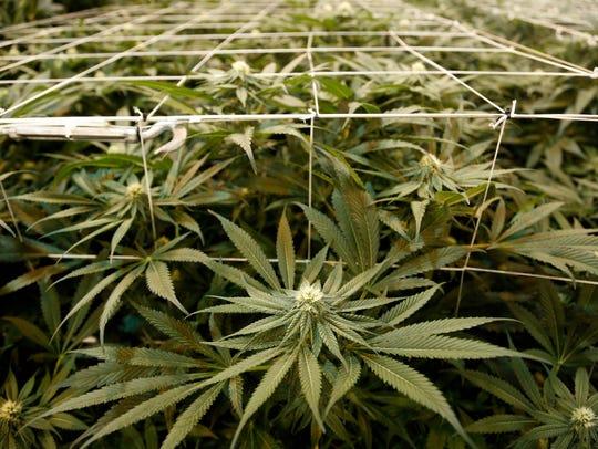 In this Thursday, June 22, 2017, photo, marijuana plants