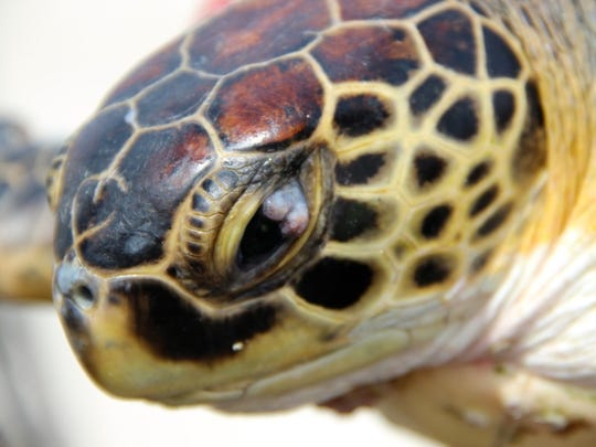 This sea turtle suffers from a fibropapilloma viral tumor in its eye. Researchers are tyhring to find out why some green sea turtles with the virus get the disease while other do not.