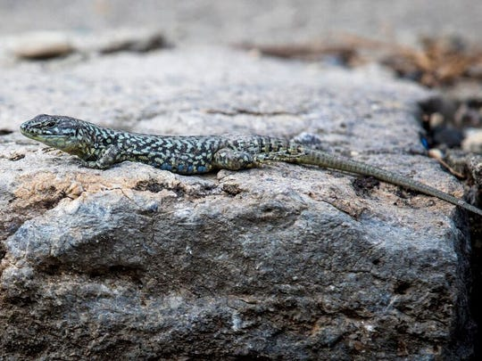 There are a few documented Lazarus lizard color morphs: