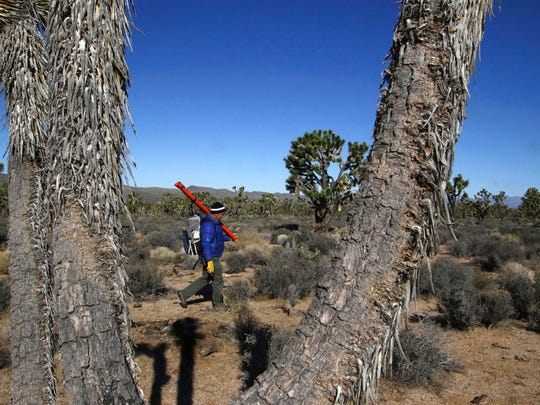 U.S. Geological Survey ecologist Todd Esque carries survey equipment into the Grapevine Mesa Joshua Tree Forest near Meadview, Ariz., Tuesday, Feb. 20, 2018.