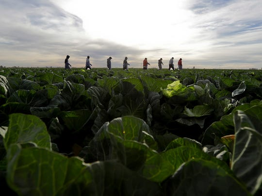 n this March 6, 2018 photo, farmworkers walk through a field of cabbage during harvest outside of Calexico, Calif.