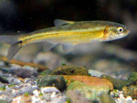 Moapa dace fish