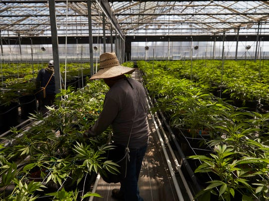 In this Thursday, April 12, 2018, photo, workers work in a greenhouse growing cannabis plants at Glass House Farms in Carpinteria, Calif. Carpinteria, about 85 miles northwest of Los Angeles, is located on the bottom of Santa Barbara County, a tourist area famous for its beaches, wine and temperate climate. It's also gaining notoriety as a haven for cannabis growers.