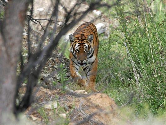 636620012965862087-tiger.jpg
