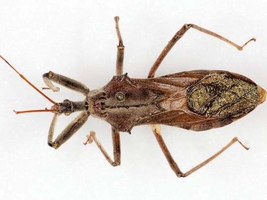 Texas is home to many bugs that look similar to the kissing bug. This assassin bug is among those.