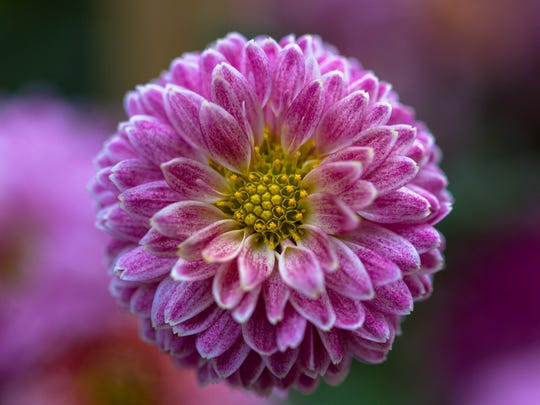 Pyrethrin insecticides are made from chrysanthemum