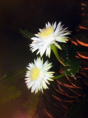Acanthocereus tetragonus or triangle cactus.
