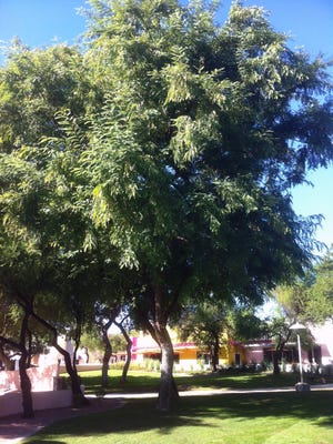 A Tipu tree, or Tipuana tipu, the Pride of Bolivia. This tree can grow to 100 feet and has a large open crown.