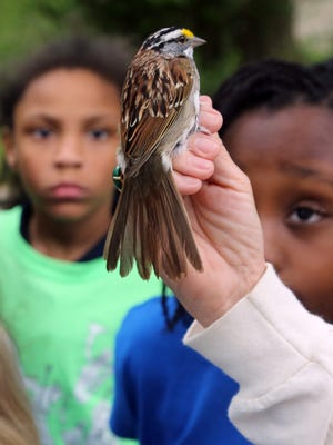 Sandy Bivens, bird research coordinator at Edwin Warner Park, holds a white-throated sparrow for visiting elementary school students to view April 19, 2016. The bird was caught, banded and released.