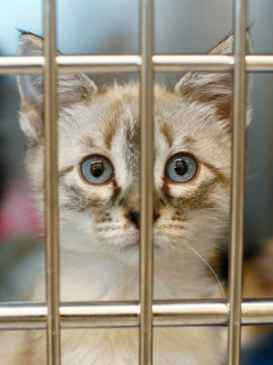A domestic medium hair cat looks out its cage at the Great Falls Animal Shelter. The new cattery will provide a better space for cats at the shelter, including providing the cats with enclosures that do not have bars to keep the cats safe from contracting disease.