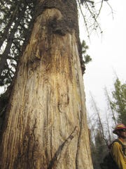 In this July 12, 2017, photo, Ben Brack, a firefighter and public information officer, stands by a tree killed by beetles at the site of a wildfire locally called the Keystone fire, near Albany, Wyo. Vast stands of dead timber in the Western U.S. have forced firefighters to shift tactics, trying to stay out of the shadow of lifeless, unstable trees that could come crashing down with deadly force. The U.S. Forest Service says about 20 percent were likely killed by a massive beetle outbreak.