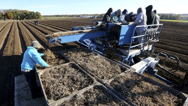 Workers sort ginseng root in early October atop a harvester at the Hsu Ginseng Farm near Wausau. Ginseng sales to China took a hit with sales down nearly 24 percent in the first quarter .