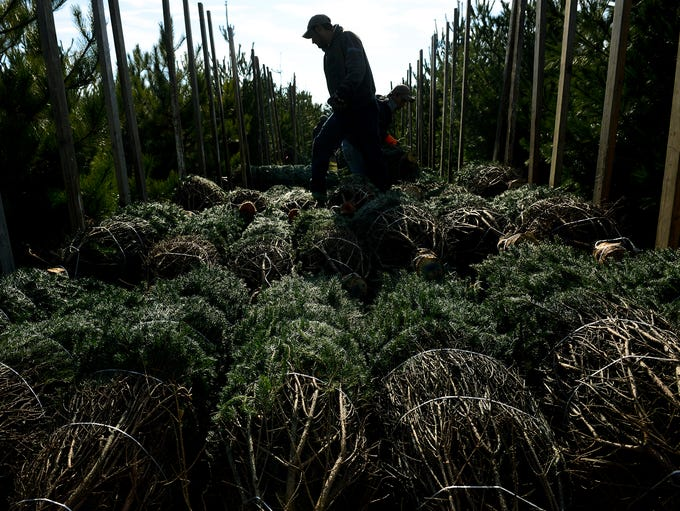 Workers load up cut trees to be delivered across Michigan,