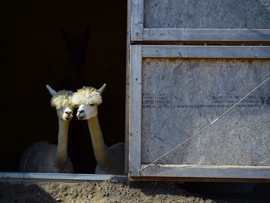 Alpacas peek out of a barn at Animal Adventure Park