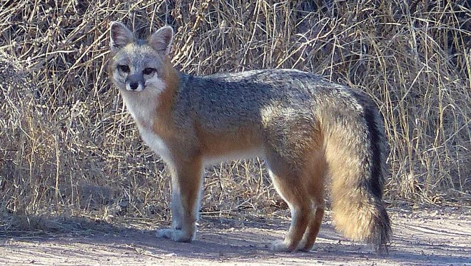 A gray fox pauses for a photo, and its mate (not in view) watches nearby.